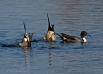 Northern Pintail ducks feeding