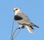 A solitary White-tailed kite